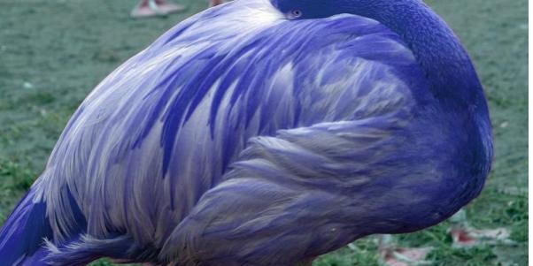 Blue Flamingos? – Dill Purple Geniuses